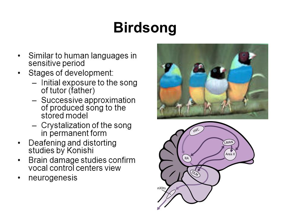 Birdsong Similar to human languages in sensitive period Stages of development: –Initial exposure to the song of tutor (father) –Successive approximation of produced song to the stored model –Crystalization of the song in permanent form Deafening and distorting studies by Konishi Brain damage studies confirm vocal control centers view neurogenesis