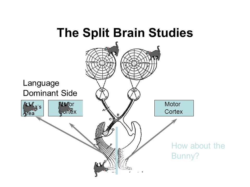 The Split Brain Studies Motor Cortex Motor Cortex Language Dominant Side Broca's Area How about the Bunny