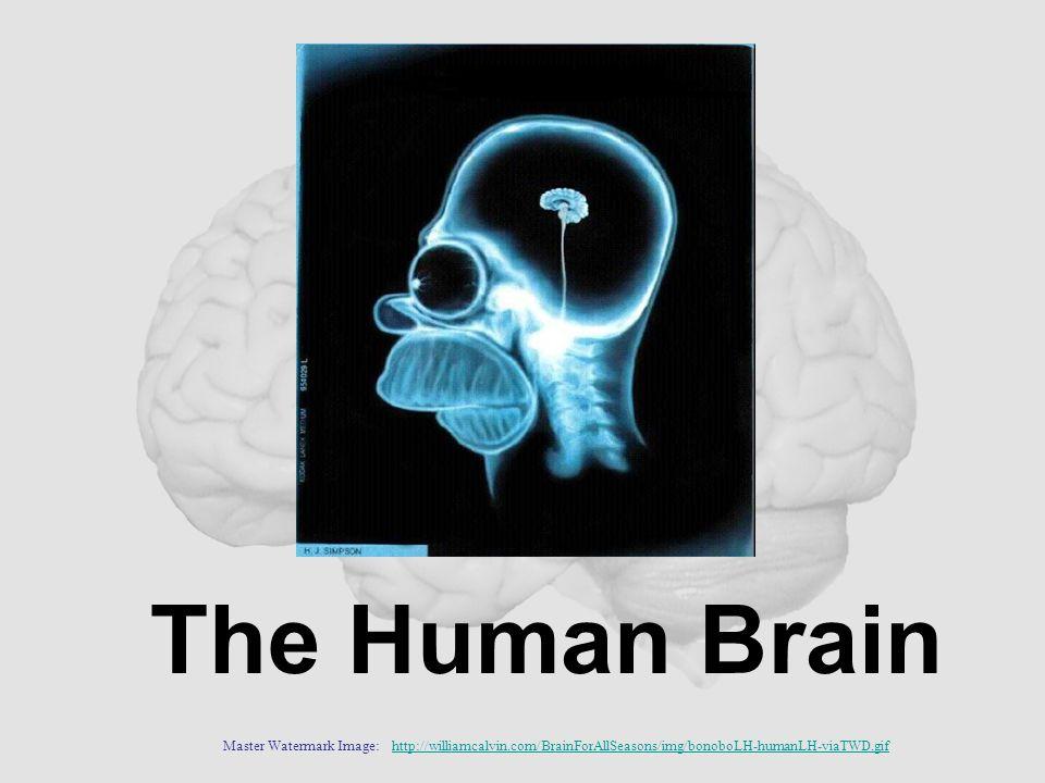 The Human Brain Master Watermark Image: http://williamcalvin.com/BrainForAllSeasons/img/bonoboLH-humanLH-viaTWD.gifhttp://williamcalvin.com/BrainForAl