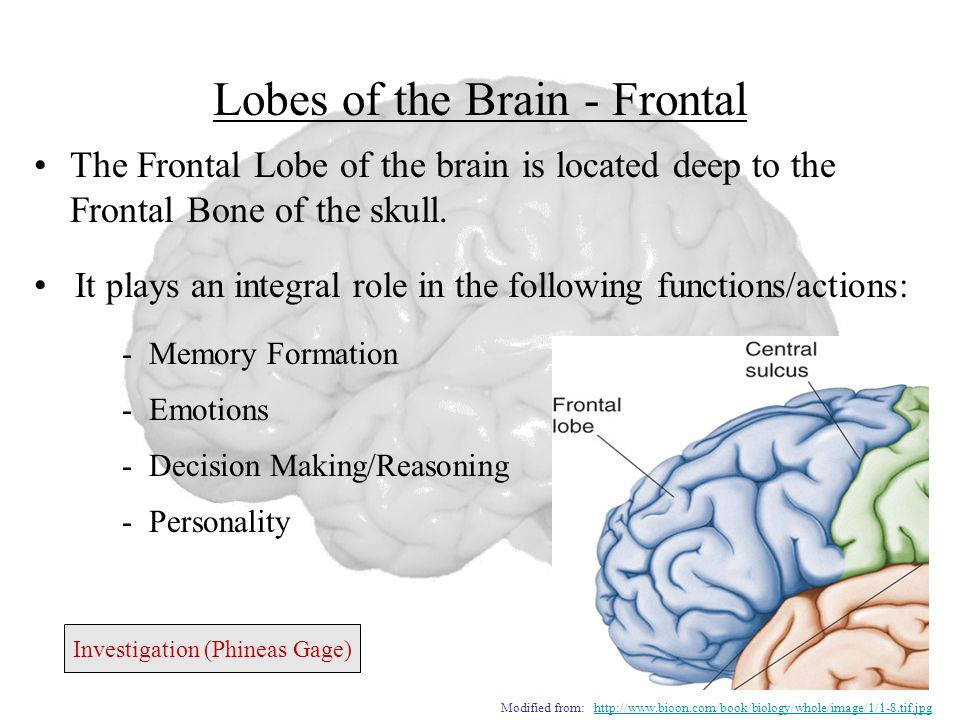 Lobes of the Brain - Frontal The Frontal Lobe of the brain is located deep to the Frontal Bone of the skull.