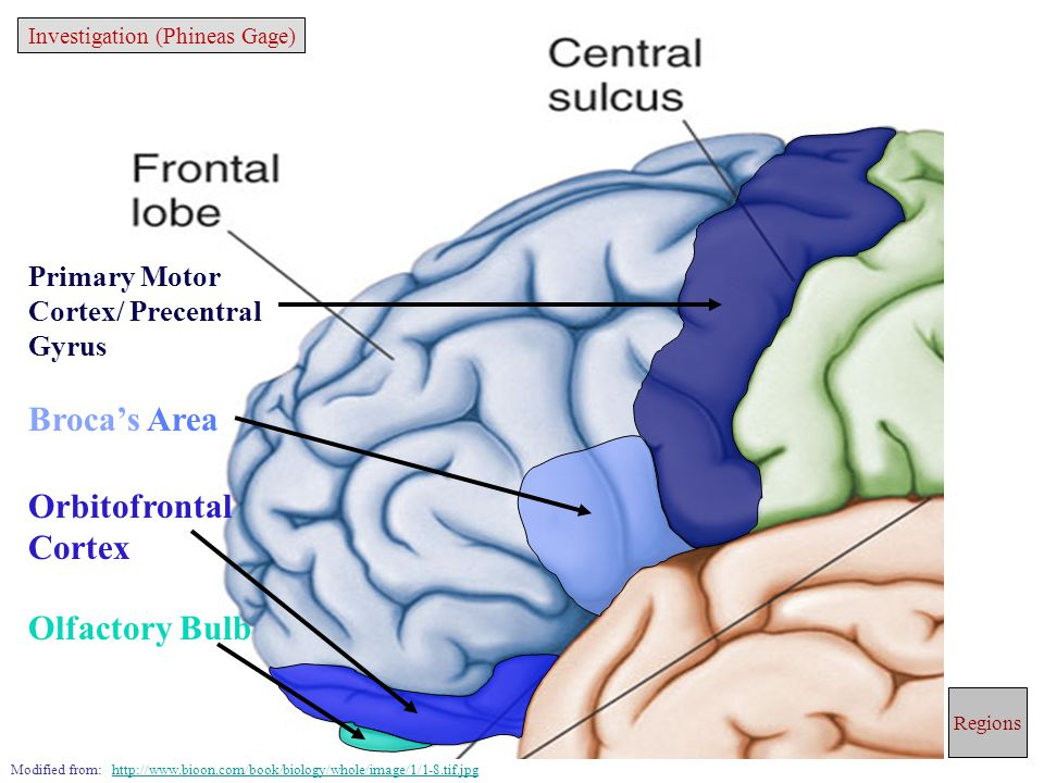 Primary Motor Cortex/ Precentral Gyrus Broca's Area Orbitofrontal Cortex Olfactory Bulb Modified from: http://www.bioon.com/book/biology/whole/image/1/1-8.tif.jpghttp://www.bioon.com/book/biology/whole/image/1/1-8.tif.jpg Regions Investigation (Phineas Gage)