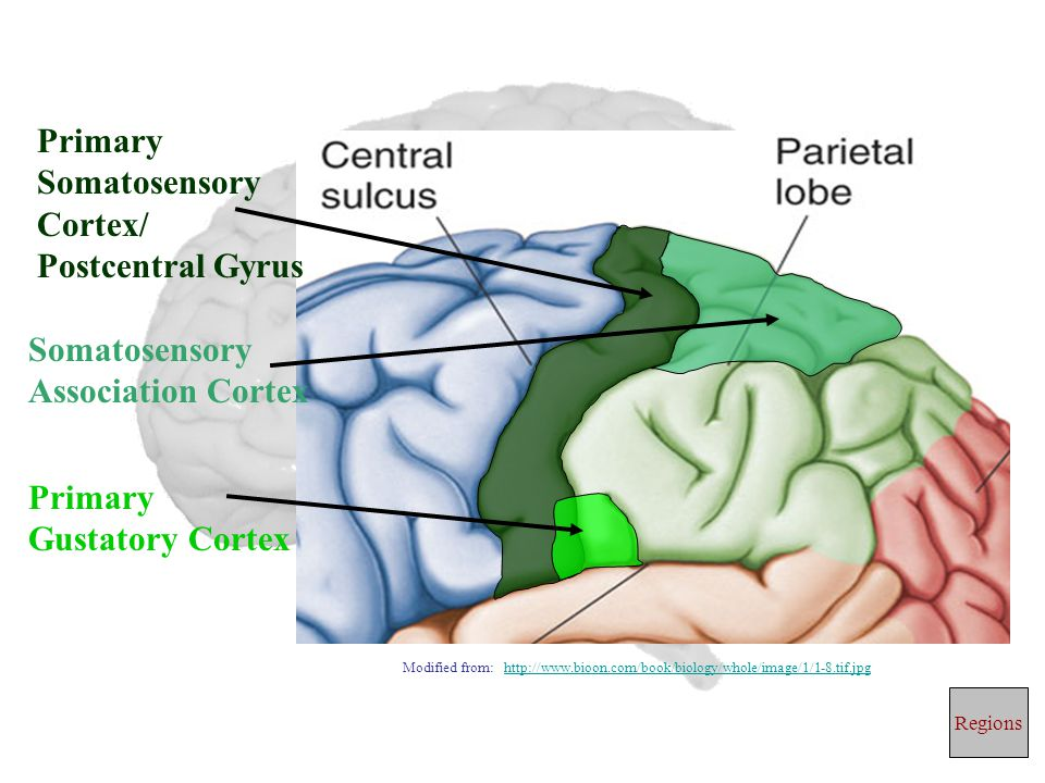 Primary Somatosensory Cortex/ Postcentral Gyrus Primary Gustatory Cortex Somatosensory Association Cortex Regions Modified from: http://www.bioon.com/book/biology/whole/image/1/1-8.tif.jpghttp://www.bioon.com/book/biology/whole/image/1/1-8.tif.jpg