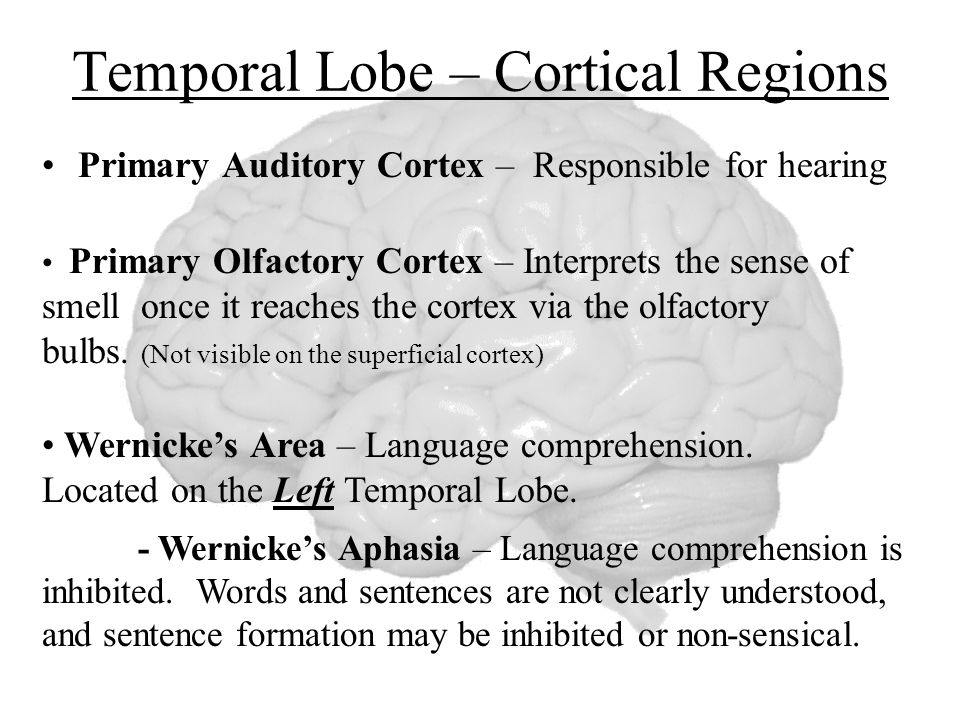 Temporal Lobe – Cortical Regions Primary Auditory Cortex – Responsible for hearing Primary Olfactory Cortex – Interprets the sense of smell once it reaches the cortex via the olfactory bulbs.