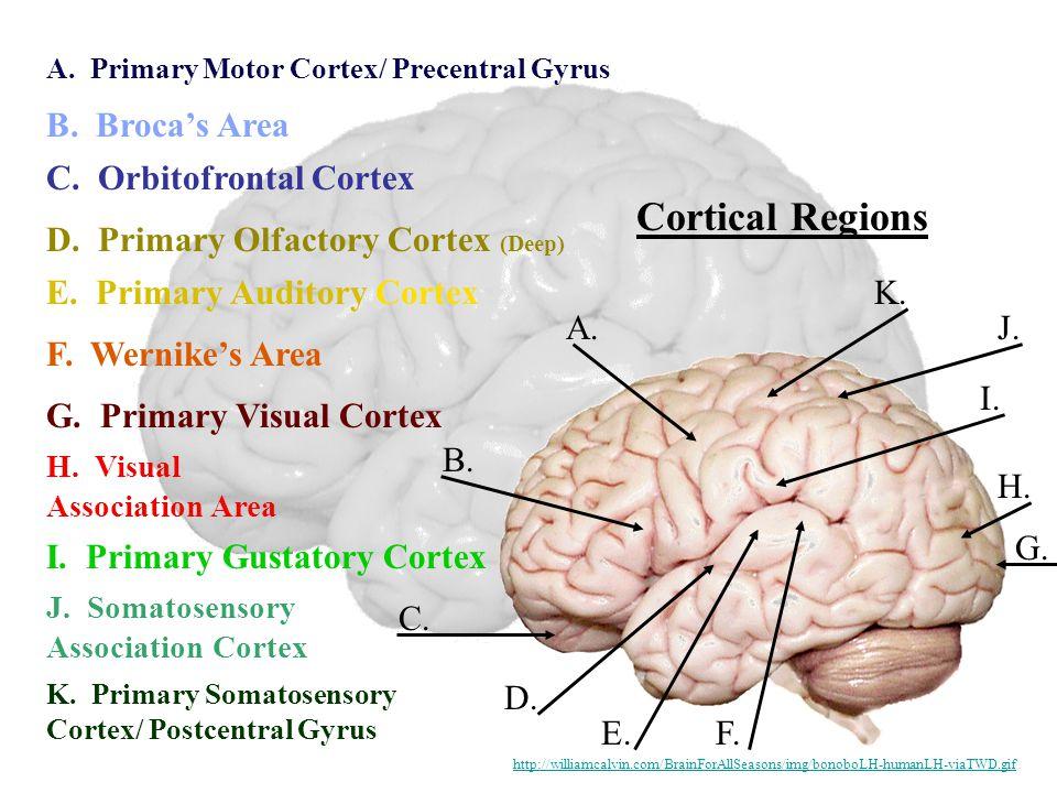 Cortical Regions A. B. C. D. E.F. G. H. I. J. K. A. Primary Motor Cortex/ Precentral Gyrus B. Broca's Area C. Orbitofrontal Cortex K. Primary Somatose