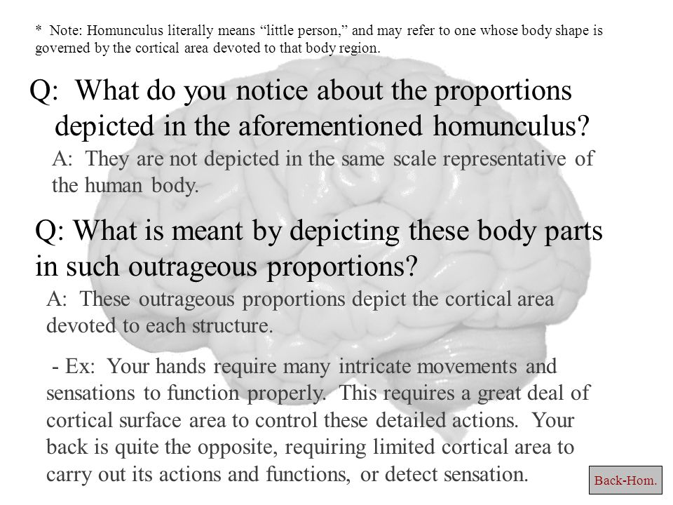 Q: What do you notice about the proportions depicted in the aforementioned homunculus.