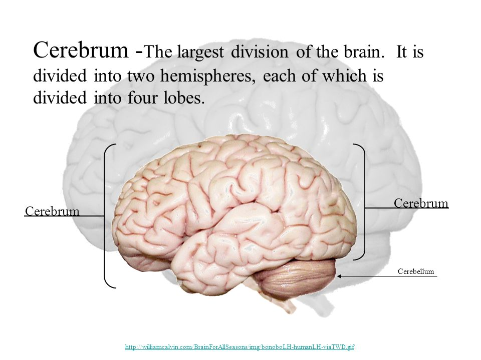 Cerebrum - The largest division of the brain.