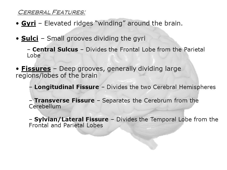 Cerebral Features: Sulci – Small grooves dividing the gyri – Central Sulcus – Divides the Frontal Lobe from the Parietal Lobe Fissures – Deep grooves, generally dividing large regions/lobes of the brain – Longitudinal Fissure – Divides the two Cerebral Hemispheres – Transverse Fissure – Separates the Cerebrum from the Cerebellum – Sylvian/Lateral Fissure – Divides the Temporal Lobe from the Frontal and Parietal Lobes Gyri – Elevated ridges winding around the brain.