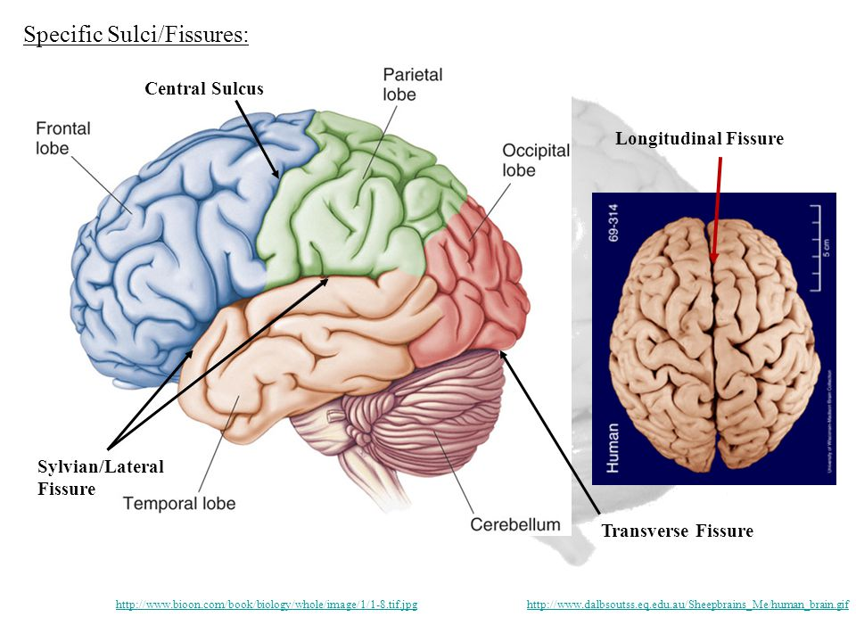 Longitudinal Fissure Transverse Fissure Sylvian/Lateral Fissure Central Sulcus http://www.bioon.com/book/biology/whole/image/1/1-8.tif.jpghttp://www.dalbsoutss.eq.edu.au/Sheepbrains_Me/human_brain.gif Specific Sulci/Fissures:
