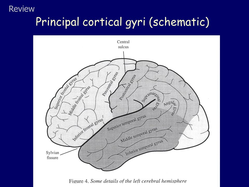 Principal cortical gyri (schematic) Review