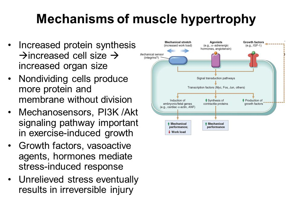 Mechanisms of muscle hypertrophy Increased protein synthesis  increased cell size  increased organ size Nondividing cells produce more protein and membrane without division Mechanosensors, PI3K /Akt signaling pathway important in exercise-induced growth Growth factors, vasoactive agents, hormones mediate stress-induced response Unrelieved stress eventually results in irreversible injury