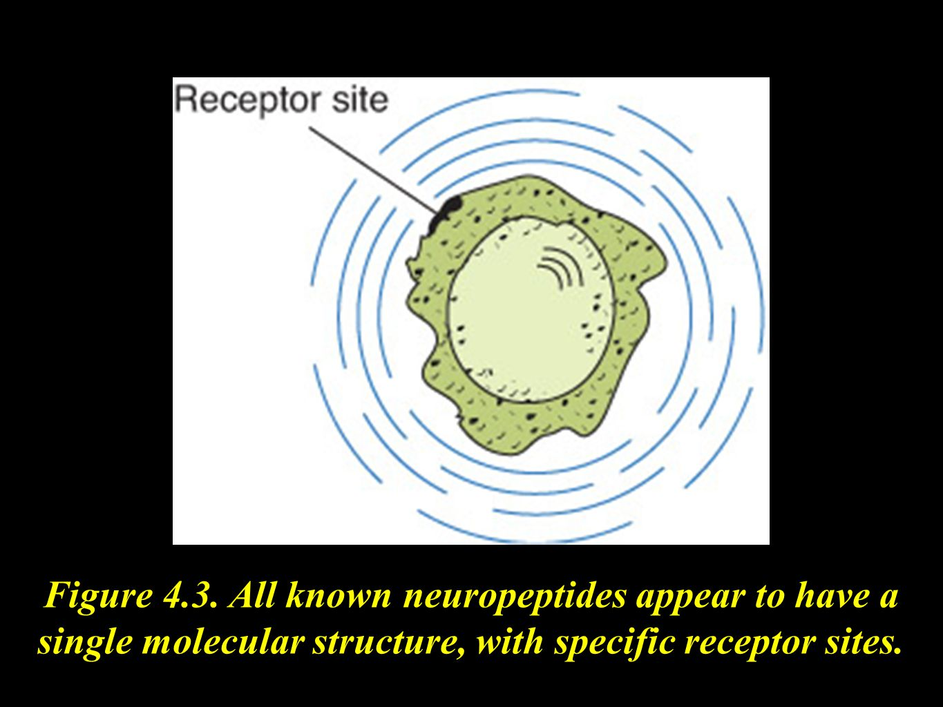 Figure 4.3. All known neuropeptides appear to have a single molecular structure, with specific receptor sites.