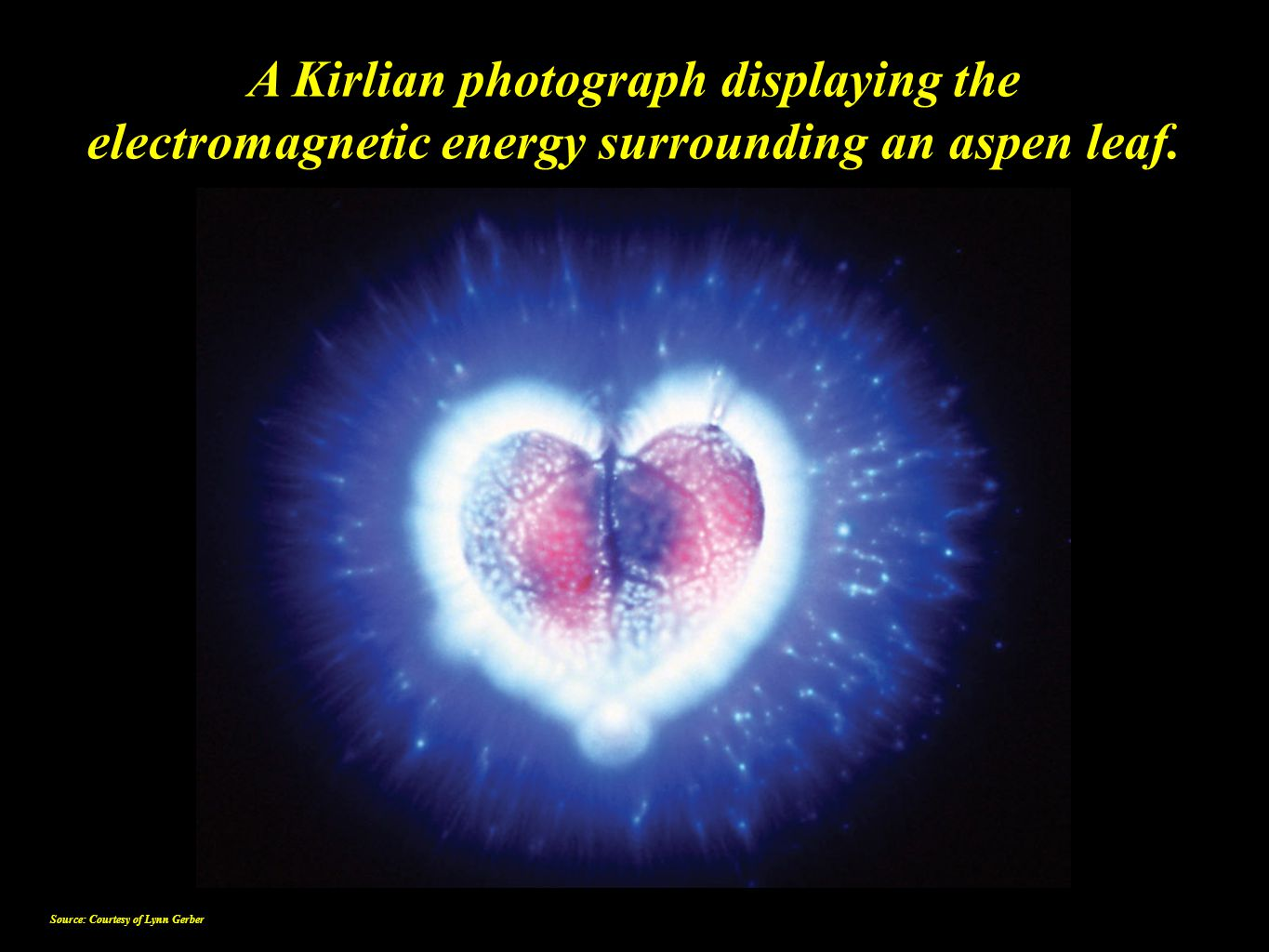 A Kirlian photograph displaying the electromagnetic energy surrounding an aspen leaf. Source: Courtesy of Lynn Gerber