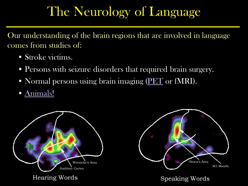 The Neurology of Language Our understanding of the brain regions that are involved in language comes from studies of: Stroke victims.