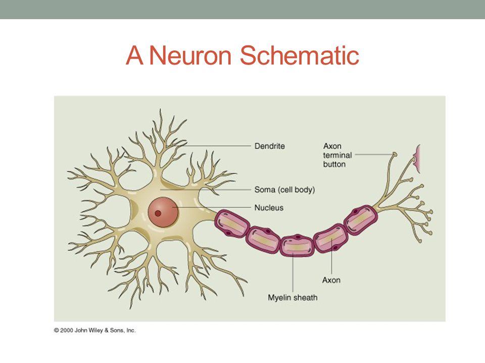 A Neuron Schematic