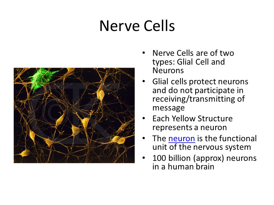Nerve Cells Nerve Cells are of two types: Glial Cell and Neurons Glial cells protect neurons and do not participate in receiving/transmitting of messa