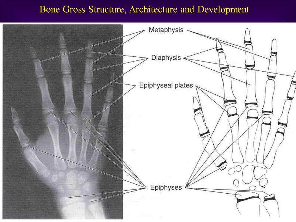 Bone Growth & Development Women –Peak bone mineral content: 25-28 yrs.