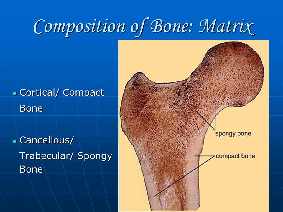 Composition of Bone: Matrix Cortical/ Compact Cortical/ CompactBone Cancellous/ Cancellous/ Trabecular/ Spongy Bone