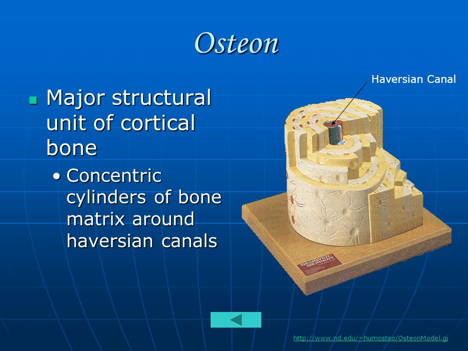 Osteon Major structural unit of cortical bone Major structural unit of cortical bone Concentric cylinders of bone matrix around haversian canalsConcentric cylinders of bone matrix around haversian canals http://www.nd.edu/~humosteo/OsteonModel.gi Haversian Canal