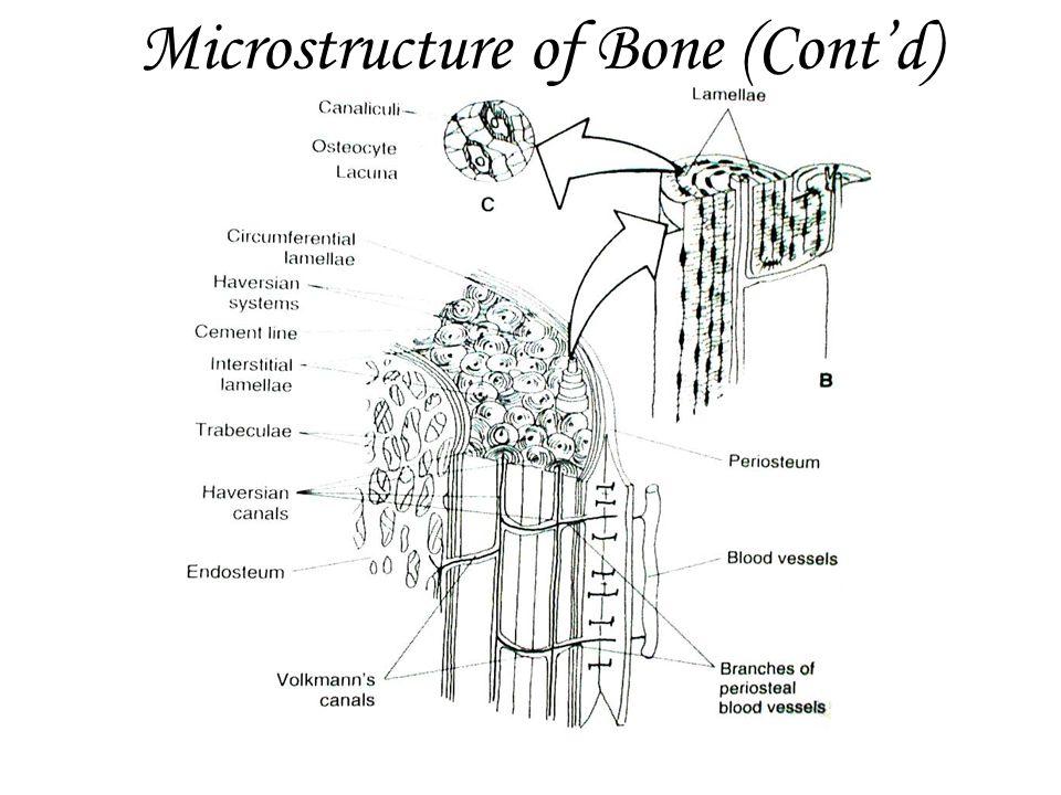 Microstructure of Bone (Cont'd)