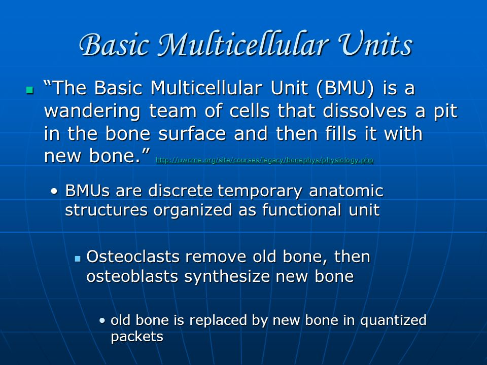 Basic Multicellular Units The Basic Multicellular Unit (BMU) is a wandering team of cells that dissolves a pit in the bone surface and then fills it with new bone. http://uwcme.org/site/courses/legacy/bonephys/physiology.php The Basic Multicellular Unit (BMU) is a wandering team of cells that dissolves a pit in the bone surface and then fills it with new bone. http://uwcme.org/site/courses/legacy/bonephys/physiology.php http://uwcme.org/site/courses/legacy/bonephys/physiology.php BMUs are discrete temporary anatomic structures organized as functional unitBMUs are discrete temporary anatomic structures organized as functional unit Osteoclasts remove old bone, then osteoblasts synthesize new bone Osteoclasts remove old bone, then osteoblasts synthesize new bone old bone is replaced by new bone in quantized packetsold bone is replaced by new bone in quantized packets