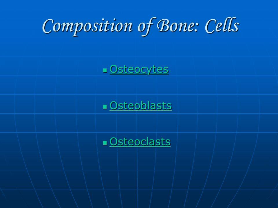 Composition of Bone: Cells Osteocytes Osteocytes Osteocytes Osteoblasts Osteoblasts Osteoblasts Osteoclasts Osteoclasts Osteoclasts