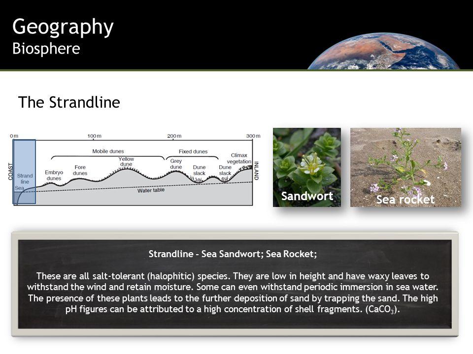 Strandline - Sea Sandwort; Sea Rocket; These are all salt-tolerant (halophitic) species.