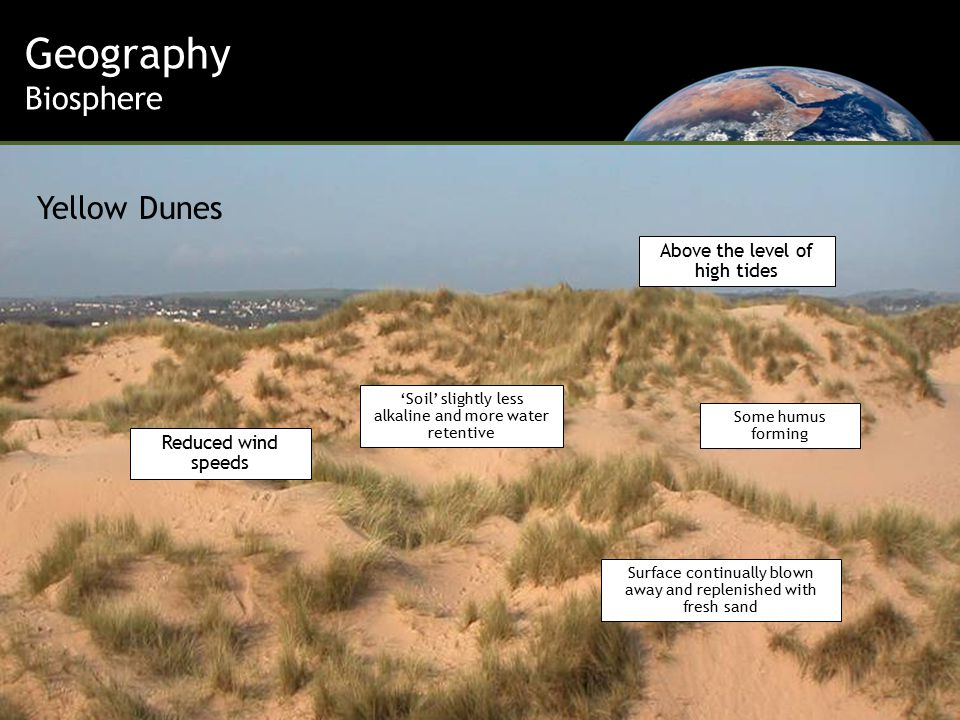 Above the level of high tides Reduced wind speeds Surface continually blown away and replenished with fresh sand 'Soil' slightly less alkaline and more water retentive Some humus forming Geography Biosphere Yellow Dunes