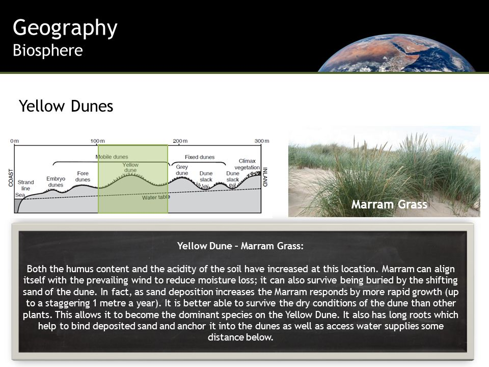 Yellow Dune – Marram Grass: Both the humus content and the acidity of the soil have increased at this location.