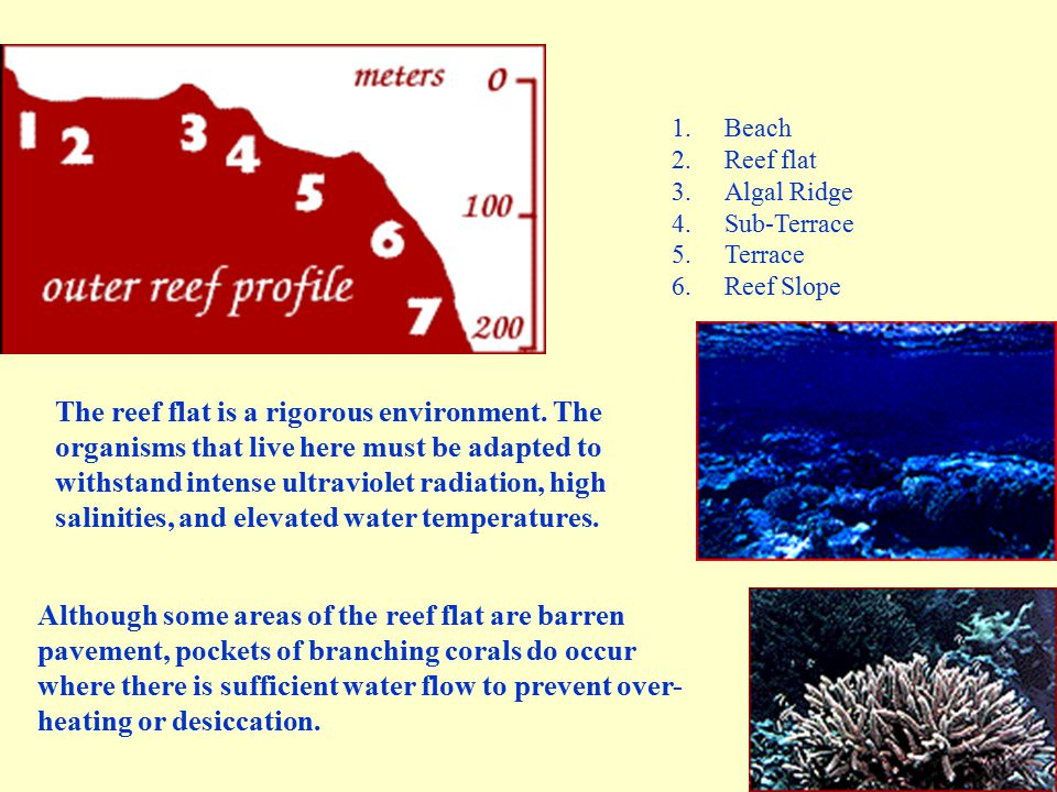 1.Beach 2.Reef flat 3.Algal Ridge 4.Sub-Terrace 5.Terrace 6.Reef Slope The reef flat is a rigorous environment. The organisms that live here must be a