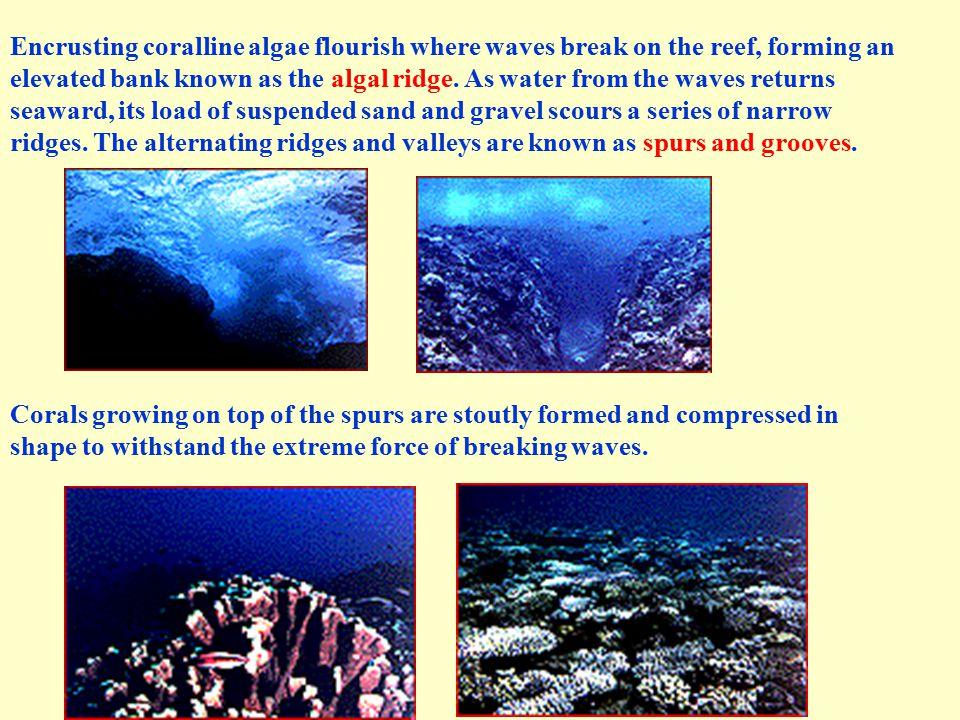 Encrusting coralline algae flourish where waves break on the reef, forming an elevated bank known as the algal ridge.