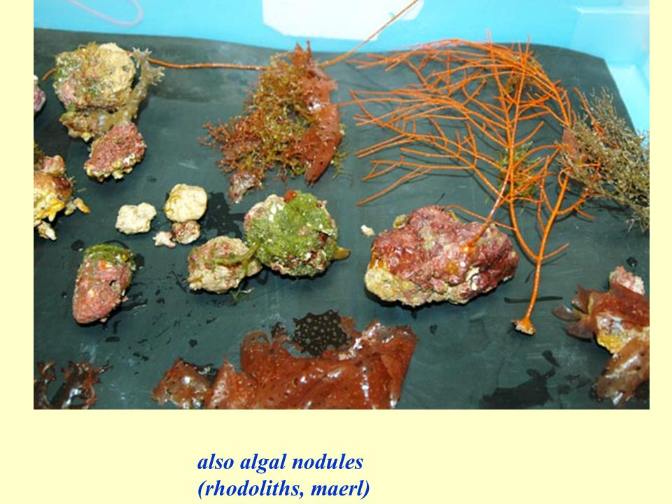 also algal nodules (rhodoliths, maerl)
