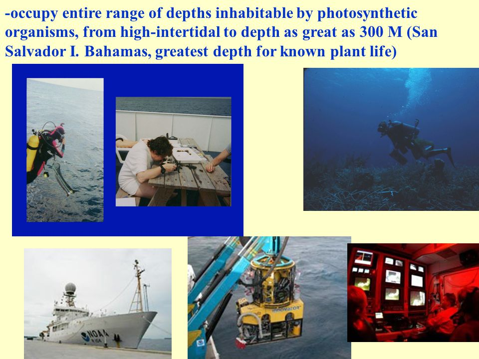 -occupy entire range of depths inhabitable by photosynthetic organisms, from high-intertidal to depth as great as 300 M (San Salvador I. Bahamas, grea