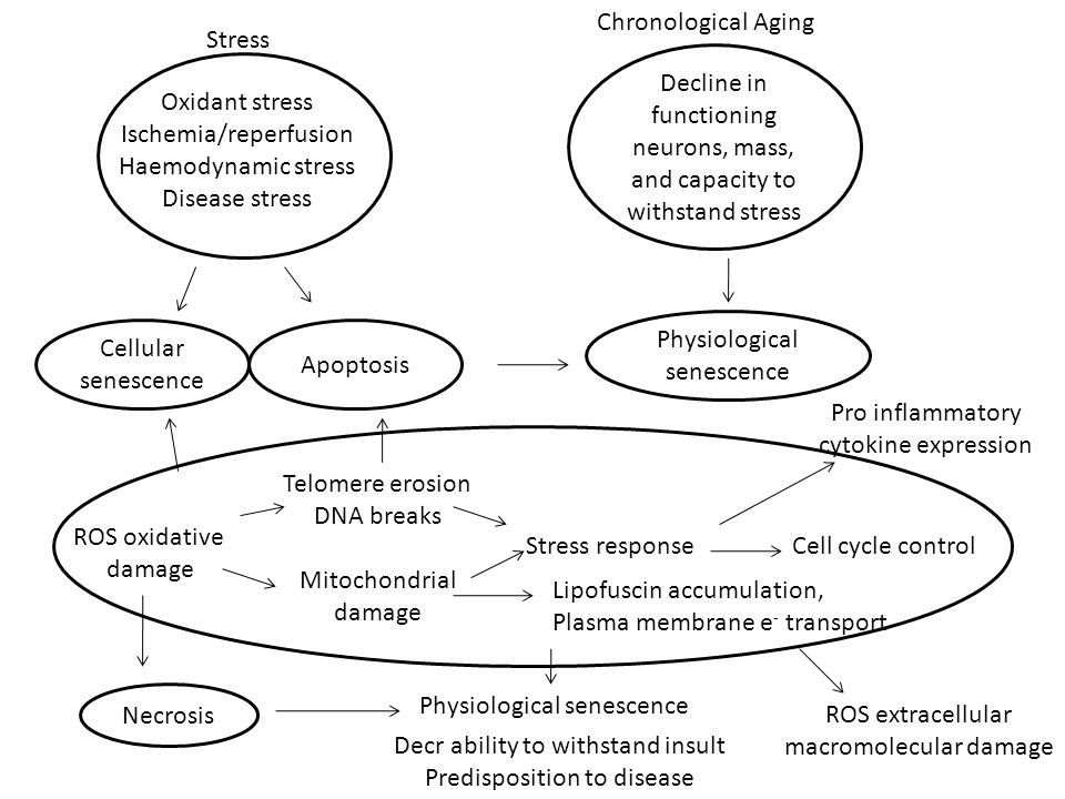 Oxidant stress Ischemia/reperfusion Haemodynamic stress Disease stress Stress Decline in functioning neurons, mass, and capacity to withstand stress Chronological Aging Cellular senescence Apoptosis Physiological senescence ROS oxidative damage Telomere erosion DNA breaks Mitochondrial damage Stress responseCell cycle control Lipofuscin accumulation, Plasma membrane e - transport Pro inflammatory cytokine expression ROS extracellular macromolecular damage Physiological senescence Decr ability to withstand insult Predisposition to disease Necrosis