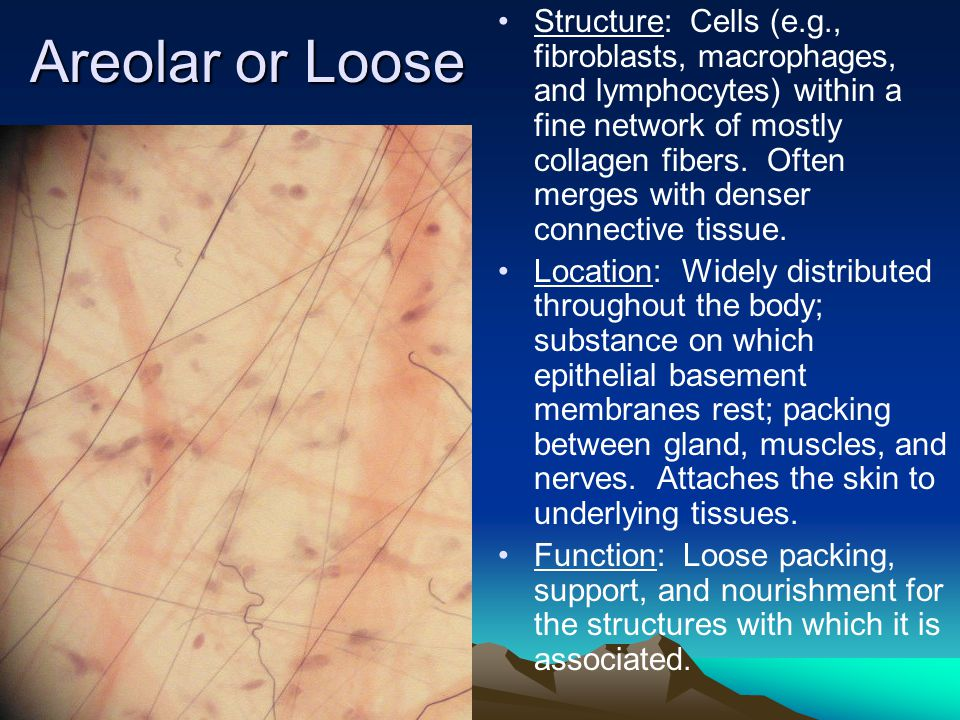 Areolar or Loose Structure: Cells (e.g., fibroblasts, macrophages, and lymphocytes) within a fine network of mostly collagen fibers.
