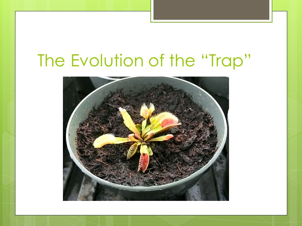Venus Fly Trap Dionaea muscipula Ellis