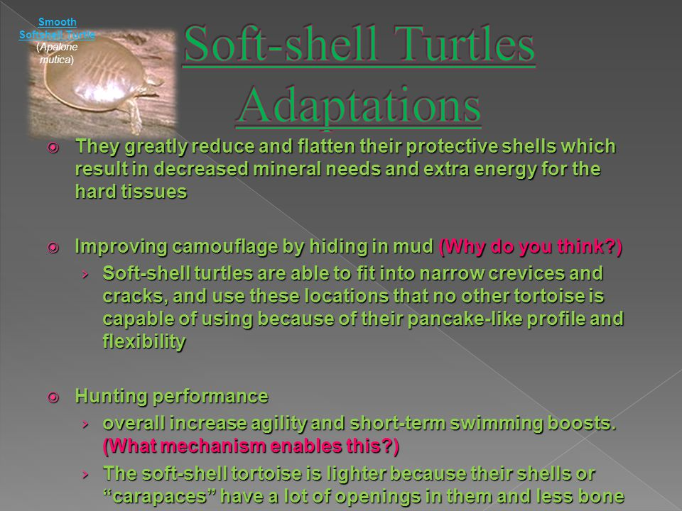  They greatly reduce and flatten their protective shells which result in decreased mineral needs and extra energy for the hard tissues  Improving camouflage by hiding in mud (Why do you think?) › Soft-shell turtles are able to fit into narrow crevices and cracks, and use these locations that no other tortoise is capable of using because of their pancake-like profile and flexibility  Hunting performance › overall increase agility and short-term swimming boosts.