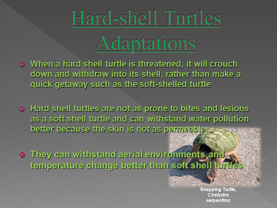  When a hard shell turtle is threatened, it will crouch down and withdraw into its shell, rather than make a quick getaway such as the soft-shelled turtle  Hard shell turtles are not as prone to bites and lesions as a soft shell turtle and can withstand water pollution better because the skin is not as permeable.