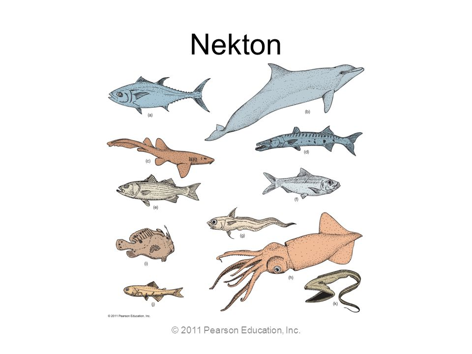 © 2011 Pearson Education, Inc. Nekton