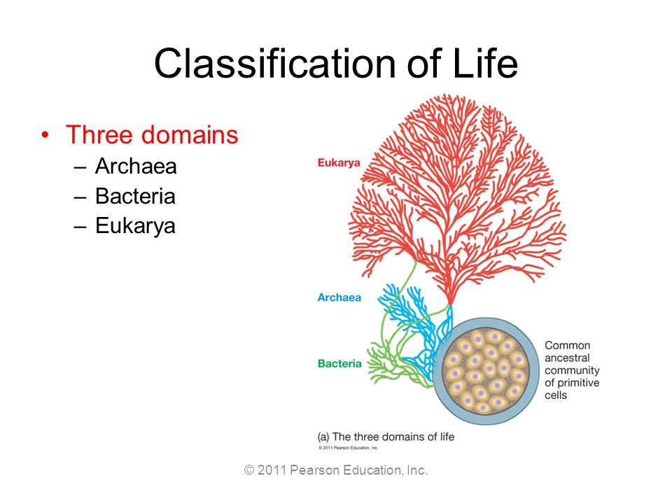 © 2011 Pearson Education, Inc. Classification of Life Three domains –Archaea –Bacteria –Eukarya