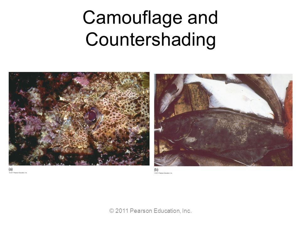 © 2011 Pearson Education, Inc. Camouflage and Countershading