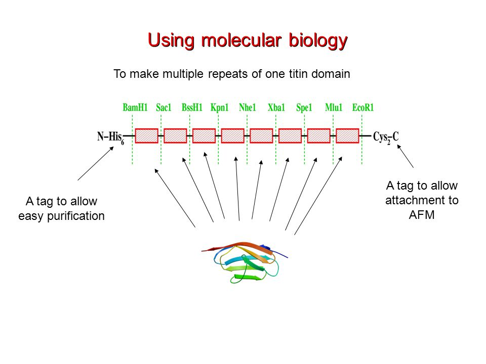 To make multiple repeats of one titin domain A tag to allow easy purification Using molecular biology A tag to allow attachment to AFM