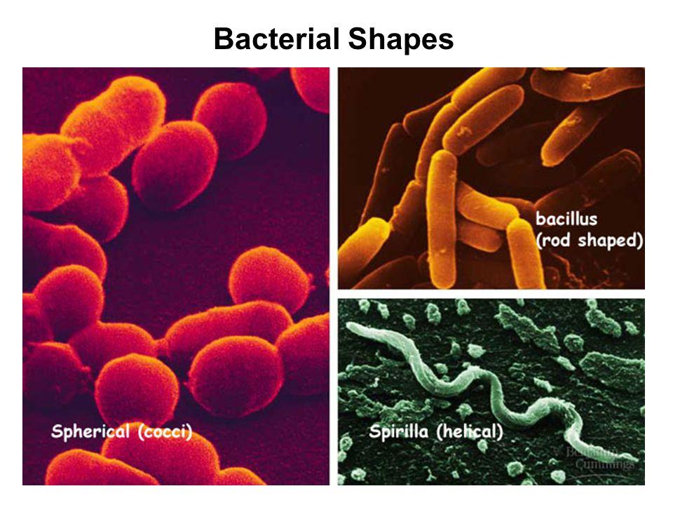 Spherical (cocci) E.g. Staphoolococcus aureus Causes pneumonia