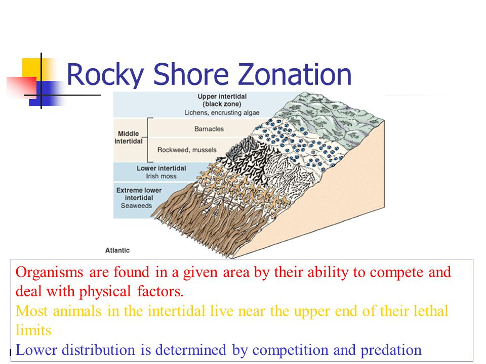 Rocky Shore16 Rocky Shore Zonation Organisms are found in a given area by their ability to compete and deal with physical factors. Most animals in the