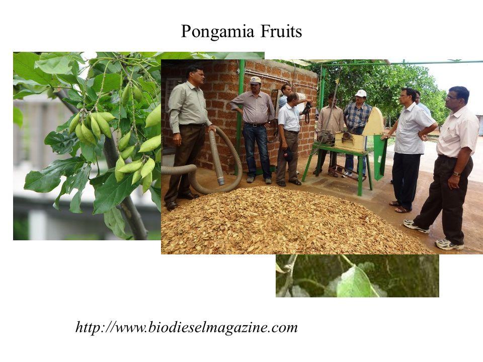 Pongamia Fruits http://www.biodieselmagazine.com