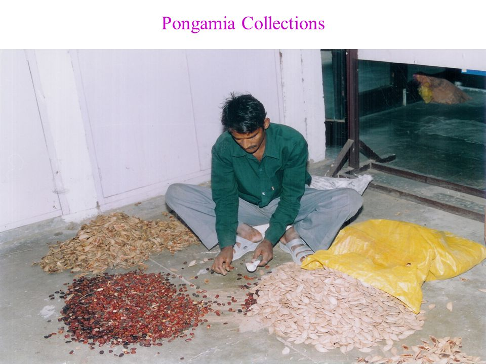 Pongamia Collections