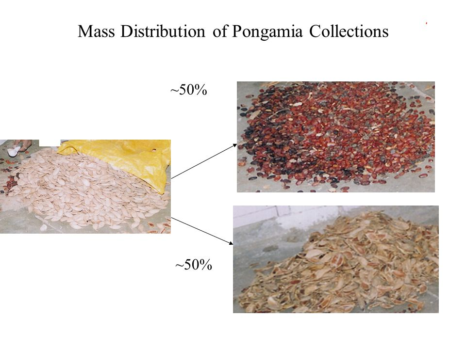 Mass Distribution of Pongamia Collections ~50%