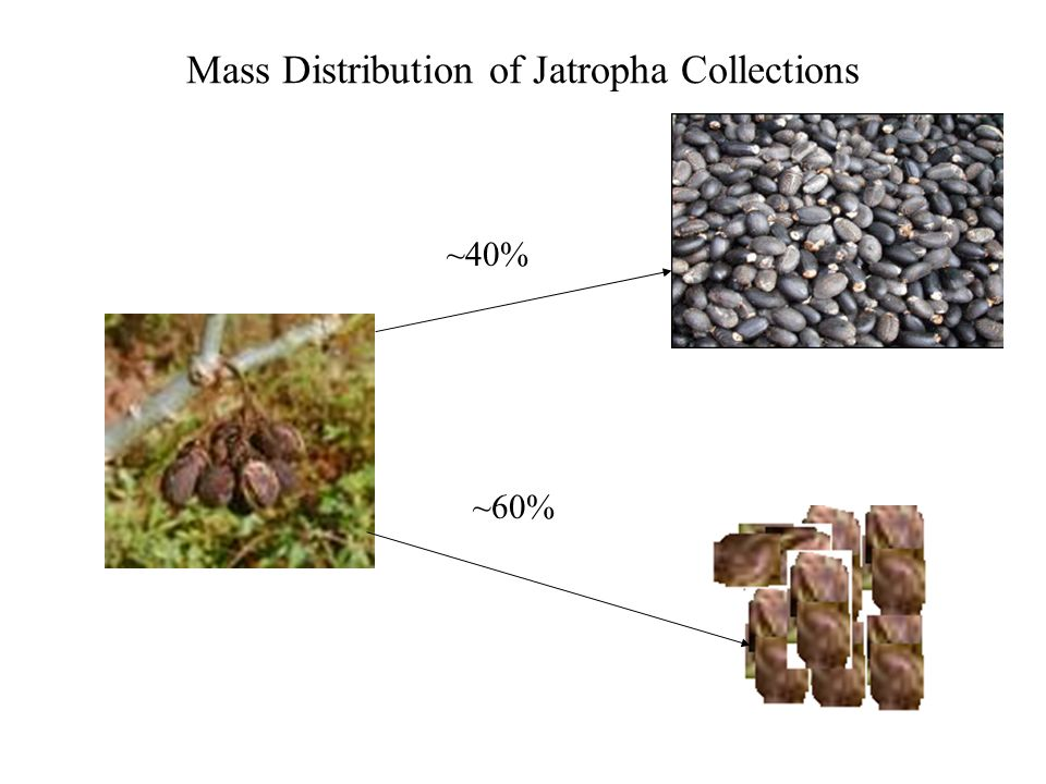 Mass Distribution of Jatropha Collections ~40% ~60%