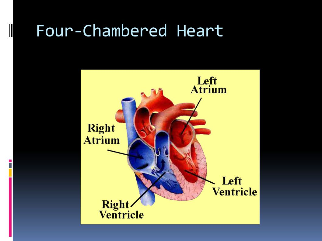 Four-Chambered Heart
