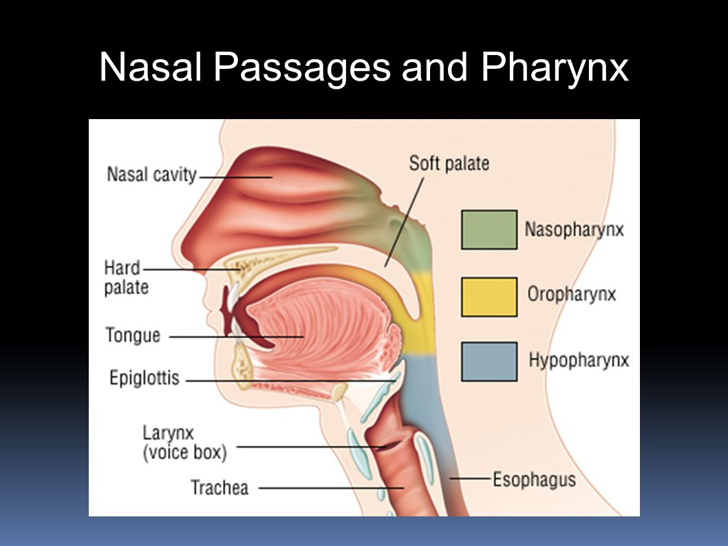 Nasal Passages and Pharynx