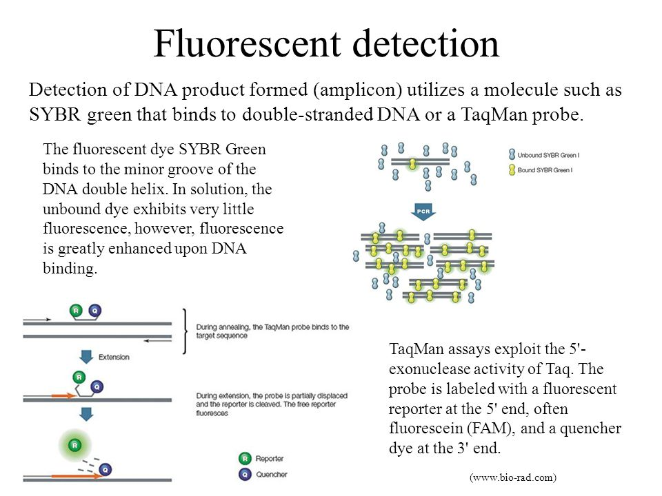 Fluorescent detection Detection of DNA product formed (amplicon) utilizes a molecule such as SYBR green that binds to double-stranded DNA or a TaqMan probe.